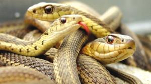 Lingue di serpente: che gente odiosa!