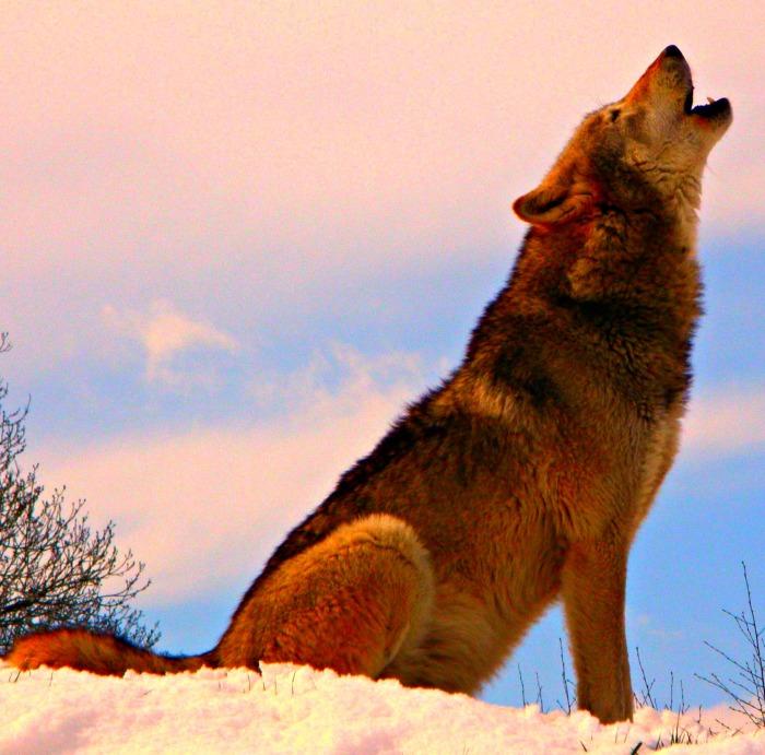 L'ululato del lupo
